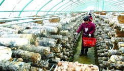 Henan: Tianchishan edible mushroom industry adds a new road to rich for farmers