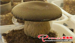 Yunnan: Artificial cultivated Porcini sells like hot cakes at a price of 120 CNY/kg