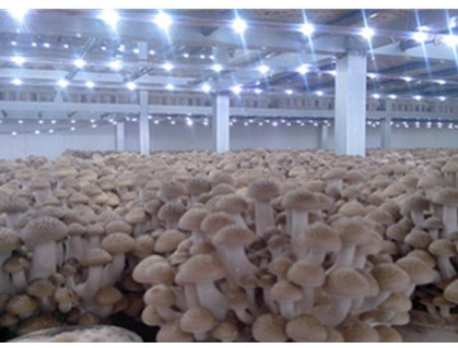 LED lights for edible mushrooms growth