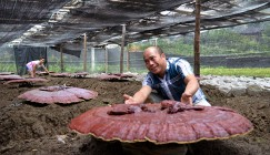 Hunan: Chengbu Reishi was exported to southeast markets