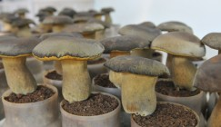 Yunnan: Artificial Bolete were welcomed by customers in the mushroom fair