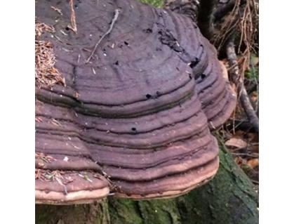 Ganoderma applanatum (Pers.) Pat. - Artist's Fungus