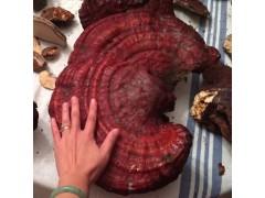 Wild Varnish Hemlock Reishi- Ganoderma Lucidum