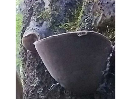 Wild Willow Bracket or Fire Sponge- Phellinus Igniarius