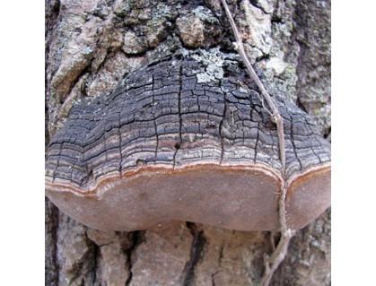 Wild Willow Bracket or Fire Sponge- Phellinus Igniarius